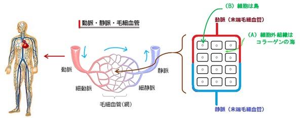 人間は細胞外組織と細胞の重合体